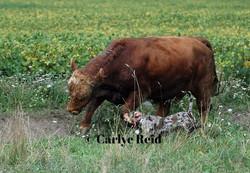 Ammo bringing back the bull