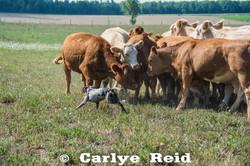 Gathering heifers