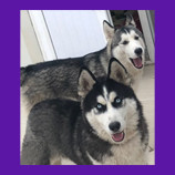Husky Dogs are lost in Iraq.  Pet Psychic gives owner hope that dogs are alive and coming home!