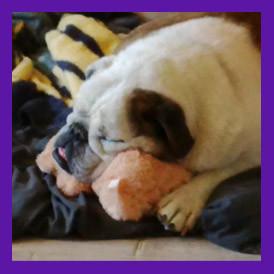 Missing English Bulldog with dementia found in West Seneca new York