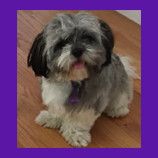 Missing Shitz Tzu dog found in Shelter Island, New York with help of pet psychic. Pet owner gives great review.