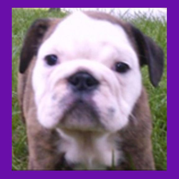 Kansas City Missouri Bulldog found pet psychic