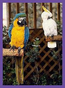 pet birds, feather plucking,