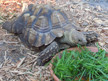 Missing Tortoise Found! Tortoise Knows More Than Expected About His Location.