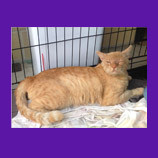 Rivera, California cat escapes while recovering from surgery. Cat is found with help of animal commu