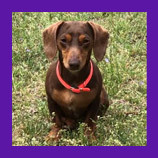 Bamberg, South Carolina lost dachshund dog found with help of pet psychic.