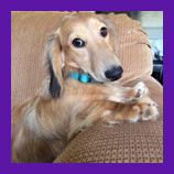Lost Buford, Georgia long haired mini Dachshund dog found with help of pet psychic before owner give