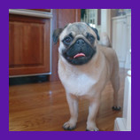 Wheaton, Illinois missing Pug dog found with help of pet psychic.  Formerly skeptical pet owner give