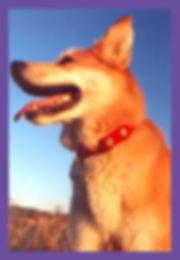 Seattle,  Washington, Shepard mix dog
