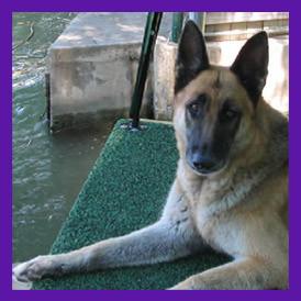 German Shepard dog Austin Texas pet spirit angel communication reading