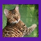 Thibodaux, Louisiana lost Bengal cat found with help of animal communicator.