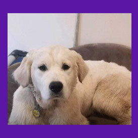 Harrington Park, New Jersey Lost Golden Retriever puppy found with help of Animal Communicator.