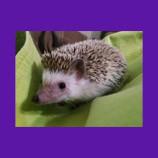 Missing hedgehog in Springville, Utah found with help of Animal Communicator.