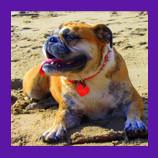 Missing Malibu Beach, California Bulldog found with help of animal communicator.