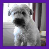 Seattle Washington Wheaton Terrier found.jpg