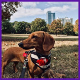 Lost Atlanta, Georgia Dachshund dog found with help of pet psychic and the smell of meatballs.