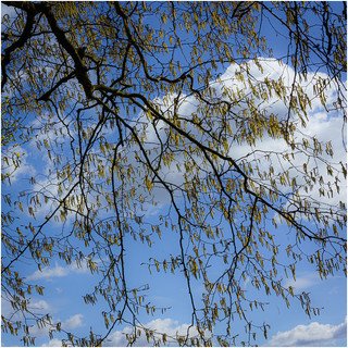 A 'Flock' of Catkins