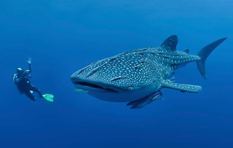 Whale Shark Watching & Scuba Diving