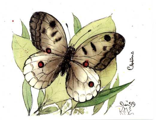 Clodius Butterfly