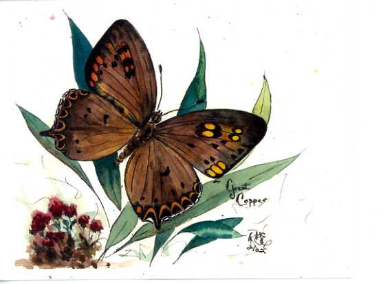 Great Copper Butterfly