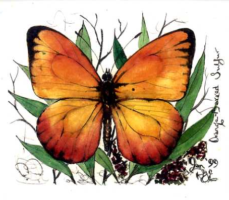Orange Barred Sulpher Butterfly