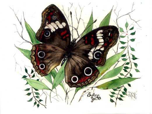 Buckeye's Recluse Butterfly
