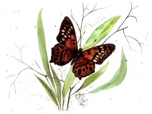 Shadow Dancer Butterfly