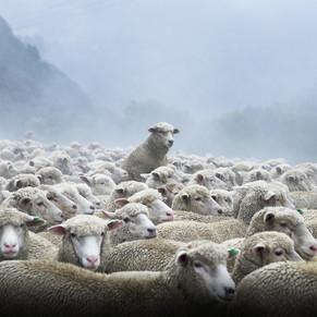 TNZ Sheep.jpg