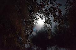 full-moon-willow-P2DBWSR.jpg