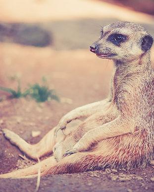 meerkat-459171_1920.jpg