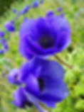 1188-best-poppies-images-on-pinterest-bl