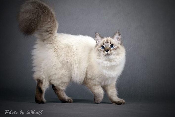 невские маскарадные котята, невские маскарадные котята купить