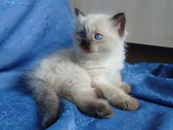 Felix Maris Stella, male,4.5 weeks