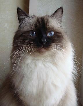 невский маскарадный котенок питомник