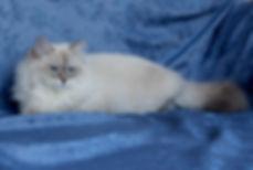 питомники невских маскарадных котят