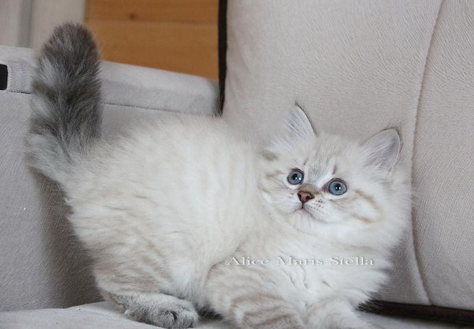 neva masquerade kittens russian