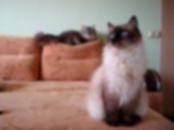 кошка окрас сил-поинт
