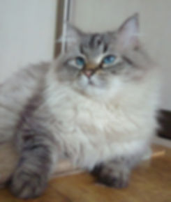 синеглазая невская маскарадная кошка