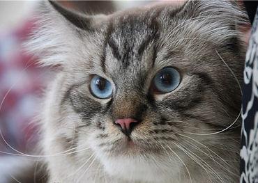 котята невские маскарадные