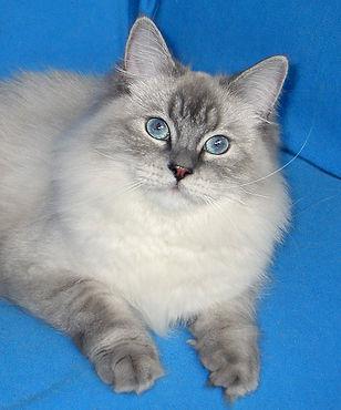 невская маскарадная кошка