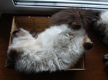 питомники сибирских кошек
