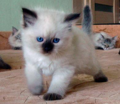котята жемчуг невы