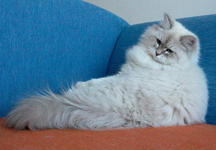 невские маскарадные котята питомник