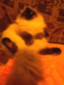 шикарная кошка