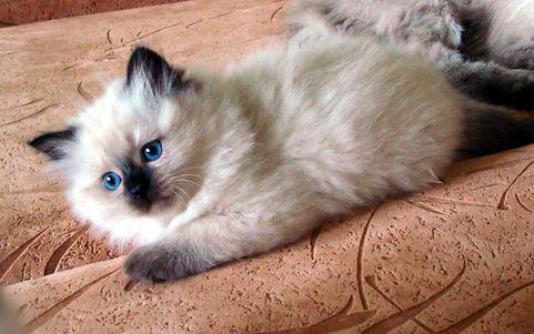 жемчуг невы котята