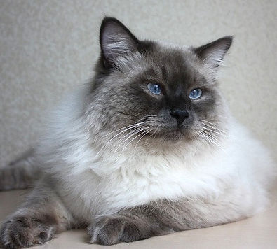 питомники невских маскарадных кошек москва
