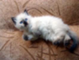 питомник жемчуг невы котята