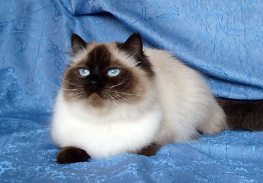 кошка сил-поинт