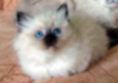 котенок с синими глазами