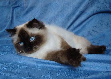 ассоль невская маскарадная кошка